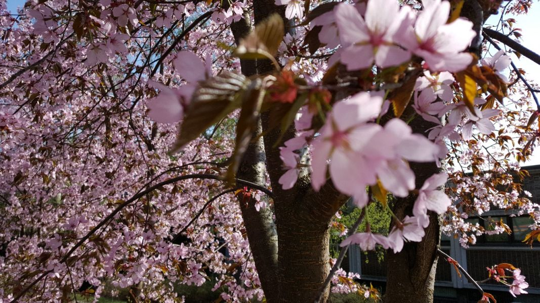 Keravalla toukokuu on vaaleanpunainen